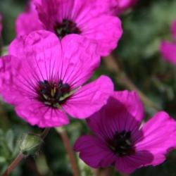 GERANIUM cinereum Purple pillow