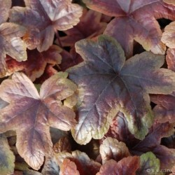 heuchera brasslanterns