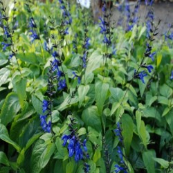 salvia blacknblue