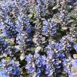 Ajuga Blueberry Muffin
