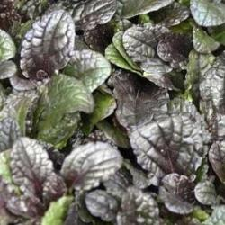 Ajuga Purple Brocade