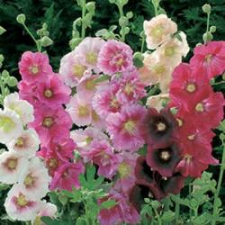 Alcea rosea single mix