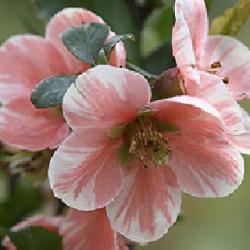 Chaenomeles 'Madame Butterfly'