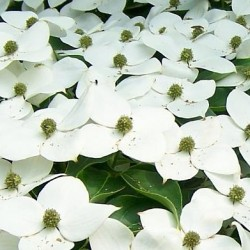 cornus milky way