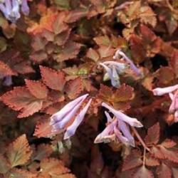 corydalis chocolate stars