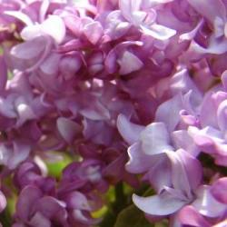 syringa vulgaris belle de nancy