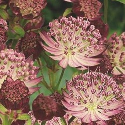astrantia passion