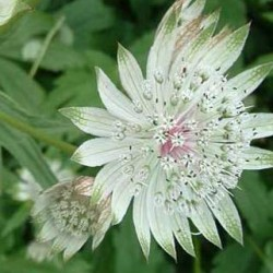 astrantia star billion