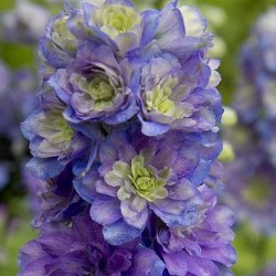 delphinium highlander blueberry pie