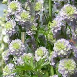 delphinium highlander crystal delight