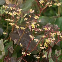 epimedium pinnatum black sea
